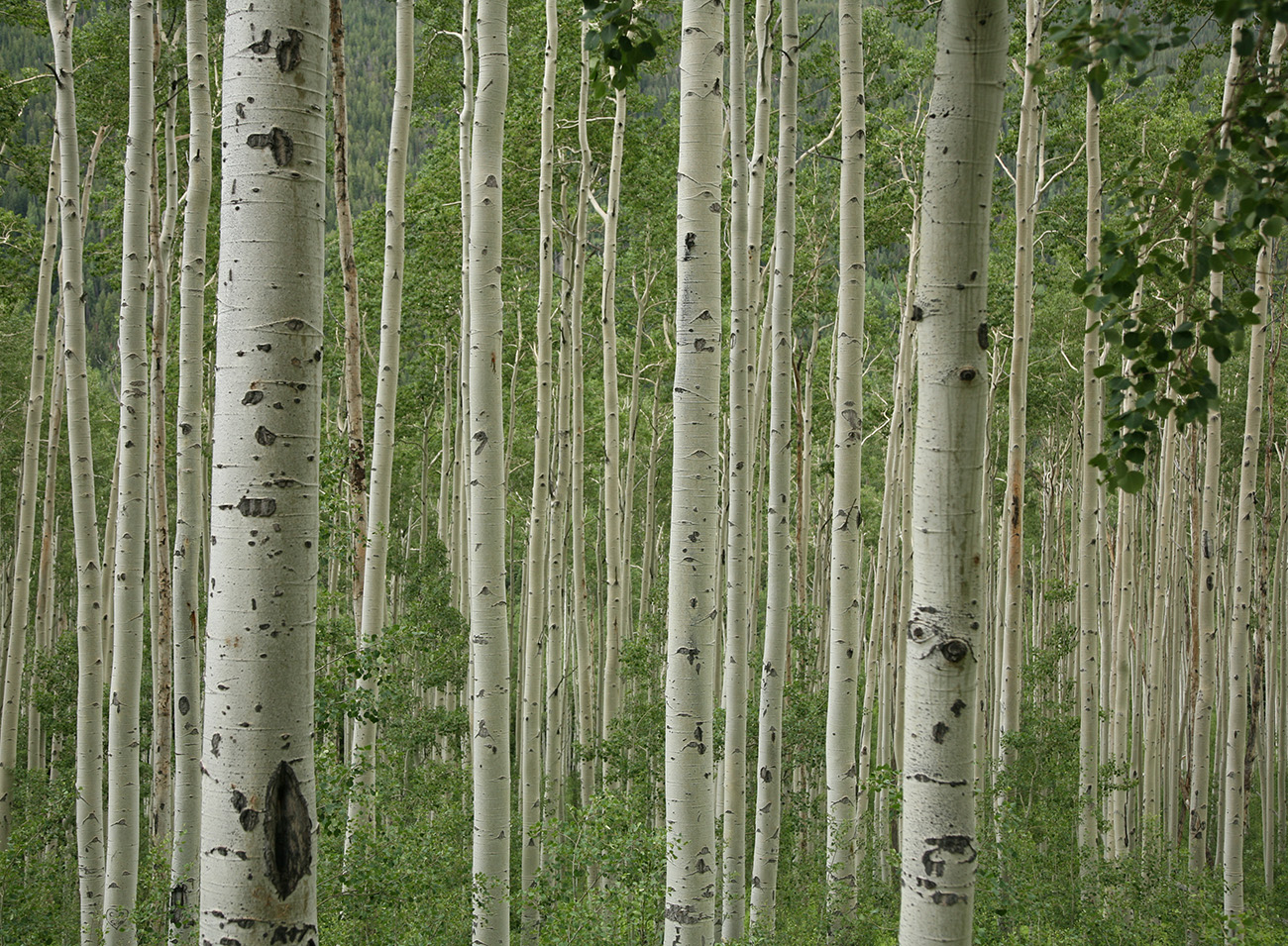 Aspen tree wallpaper for Aspen wall mural