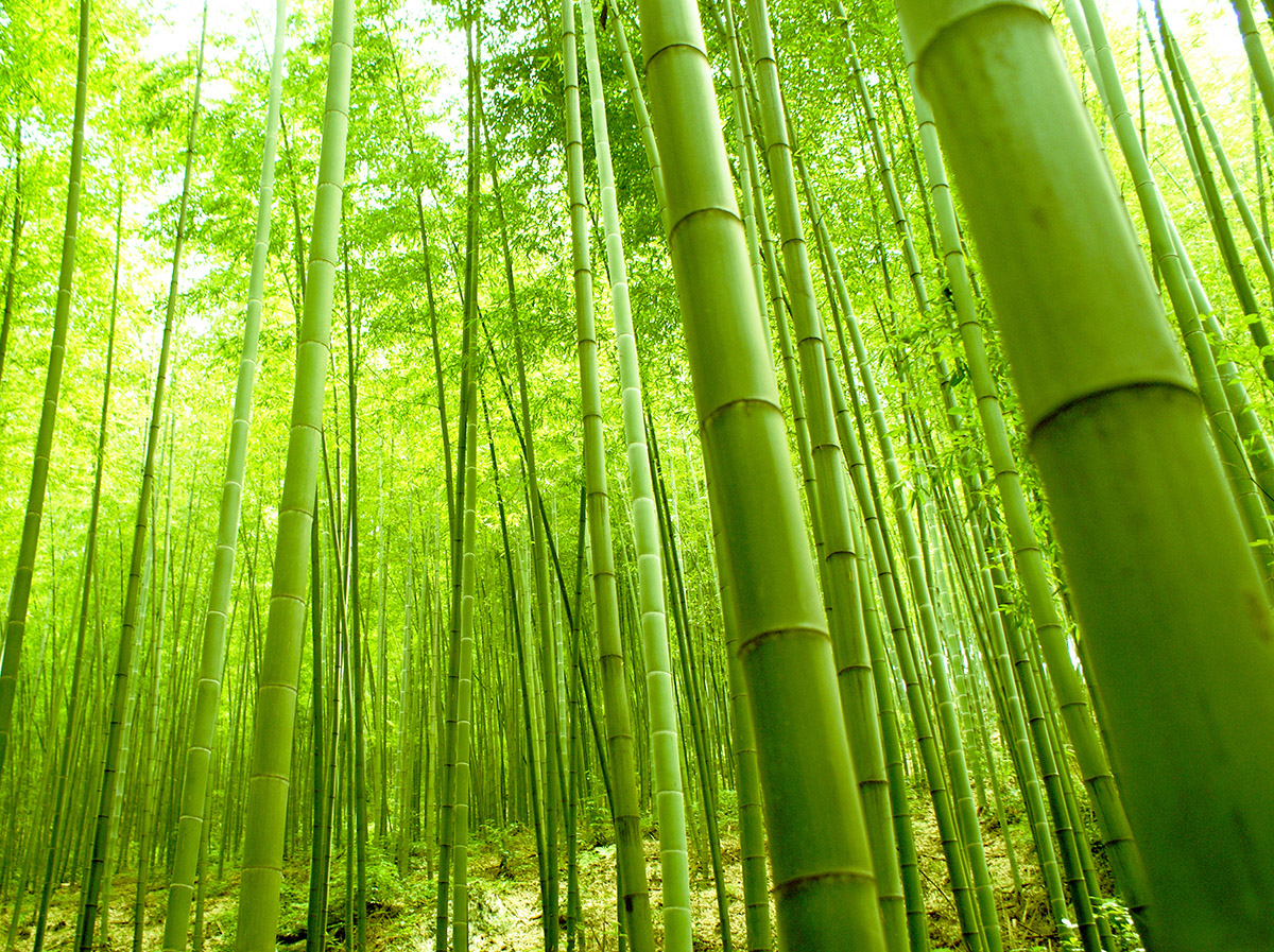 Bamboo forest wall mural for Bamboo mural wallpaper